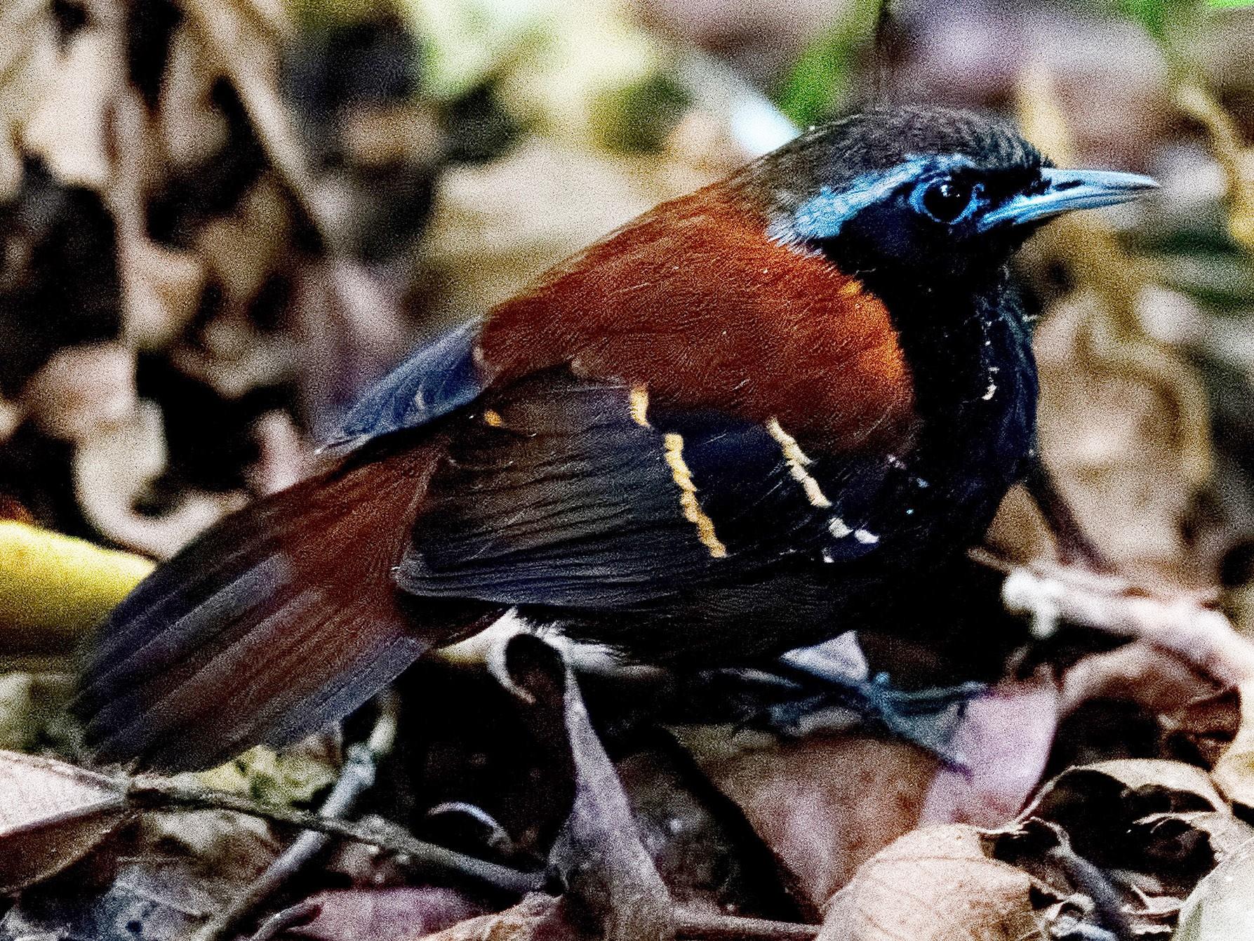 Cordillera Azul Antbird - Shailesh Pinto