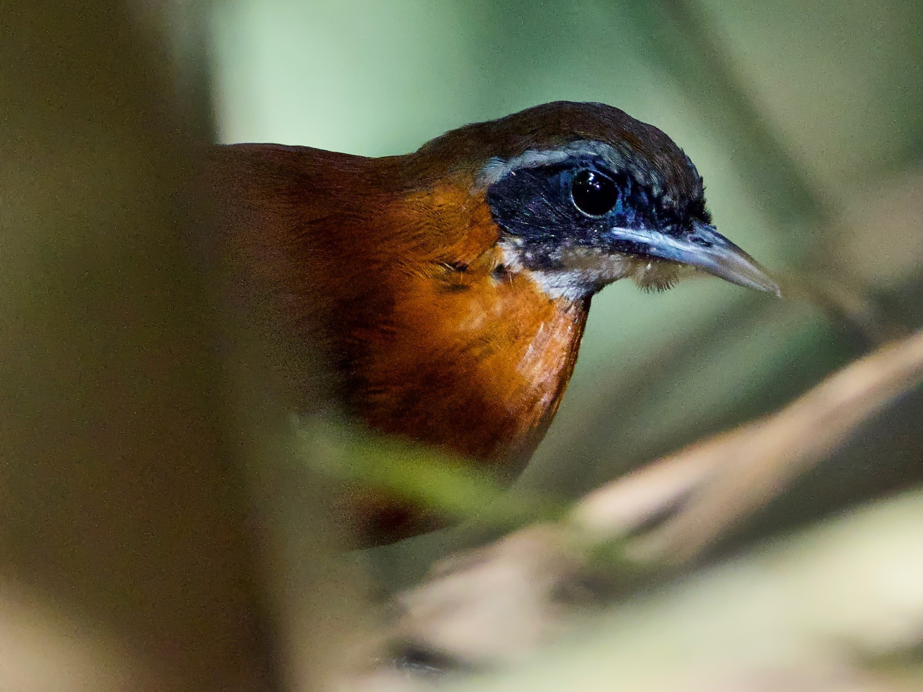 Cordillera Azul Antbird - Paul Sullivan