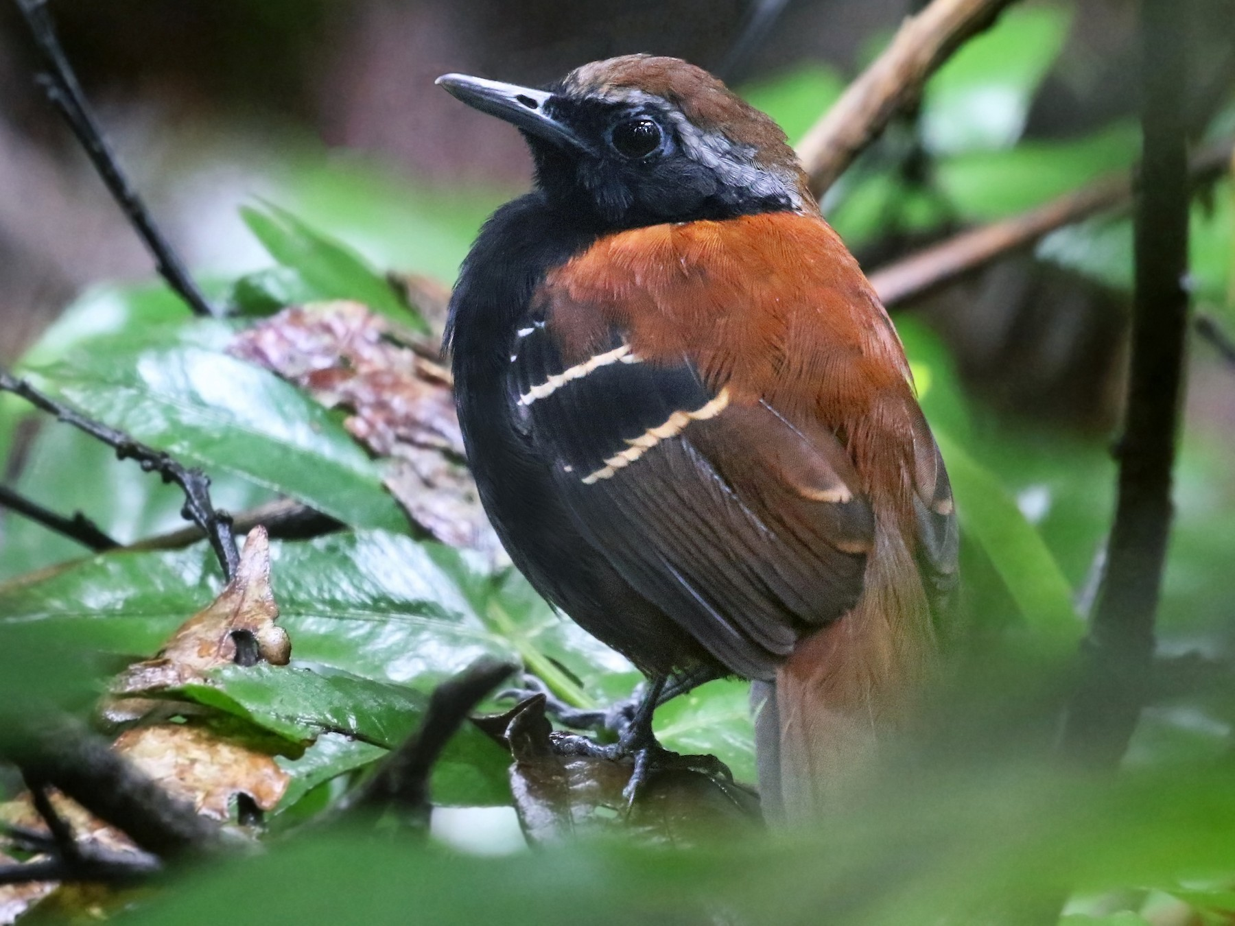 Cordillera Azul Antbird - Andrew Spencer