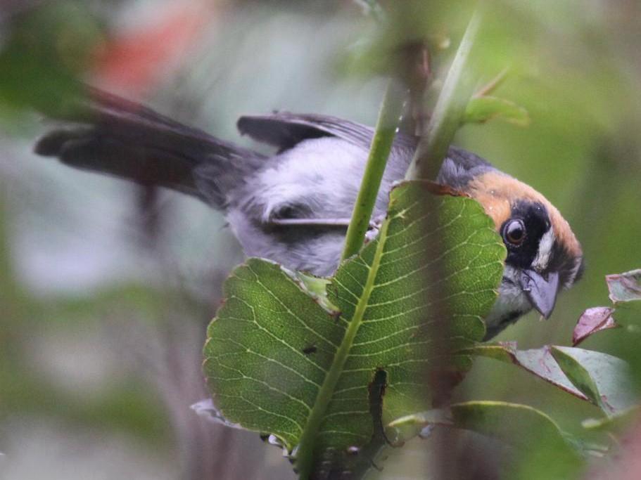 Black-spectacled Brushfinch - Ian Davies