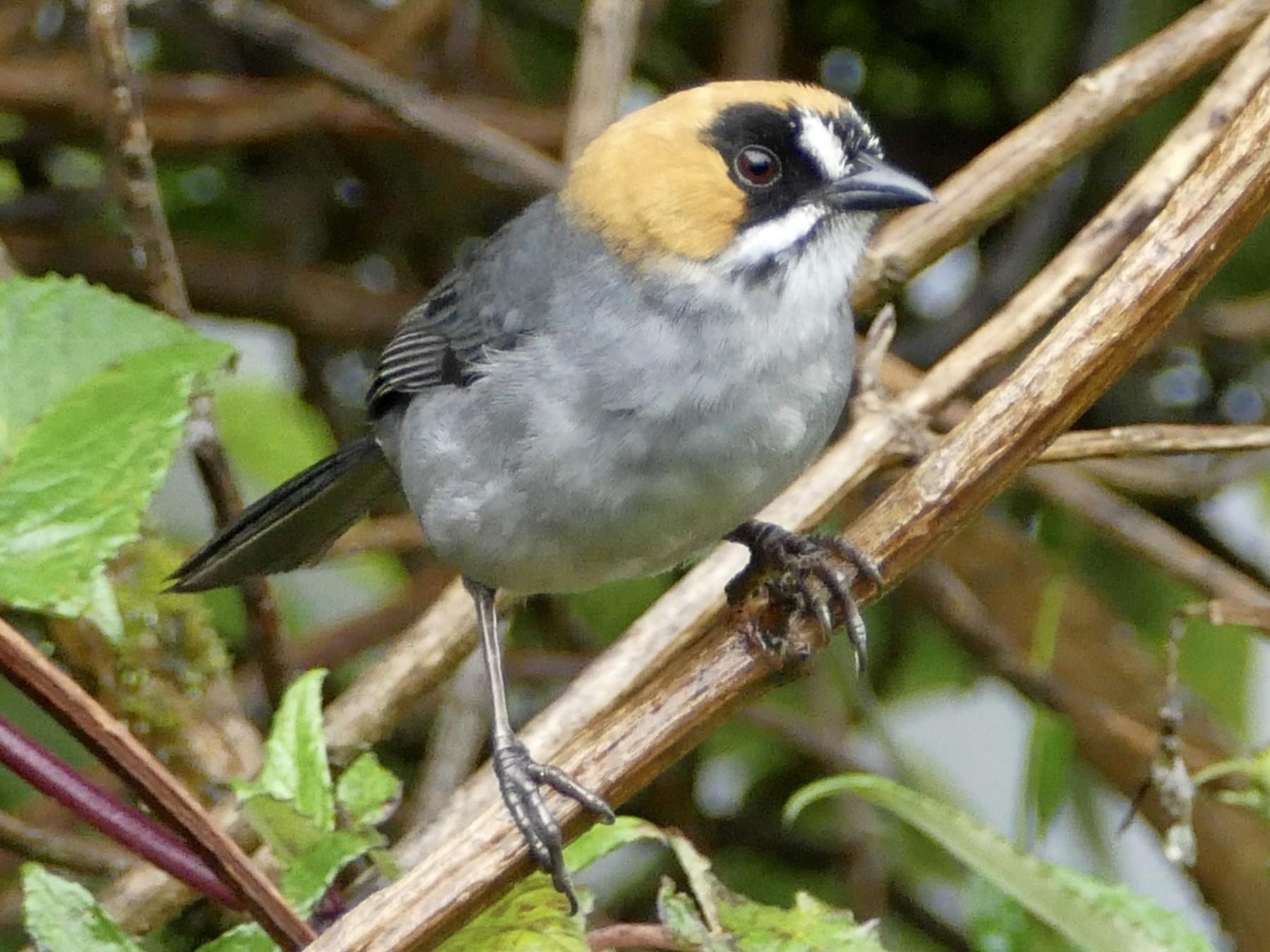 Black-spectacled Brushfinch - Peter Kaestner