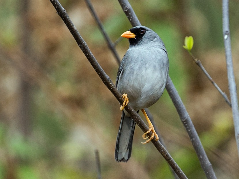 Gray-winged Inca-Finch - Nick Athanas