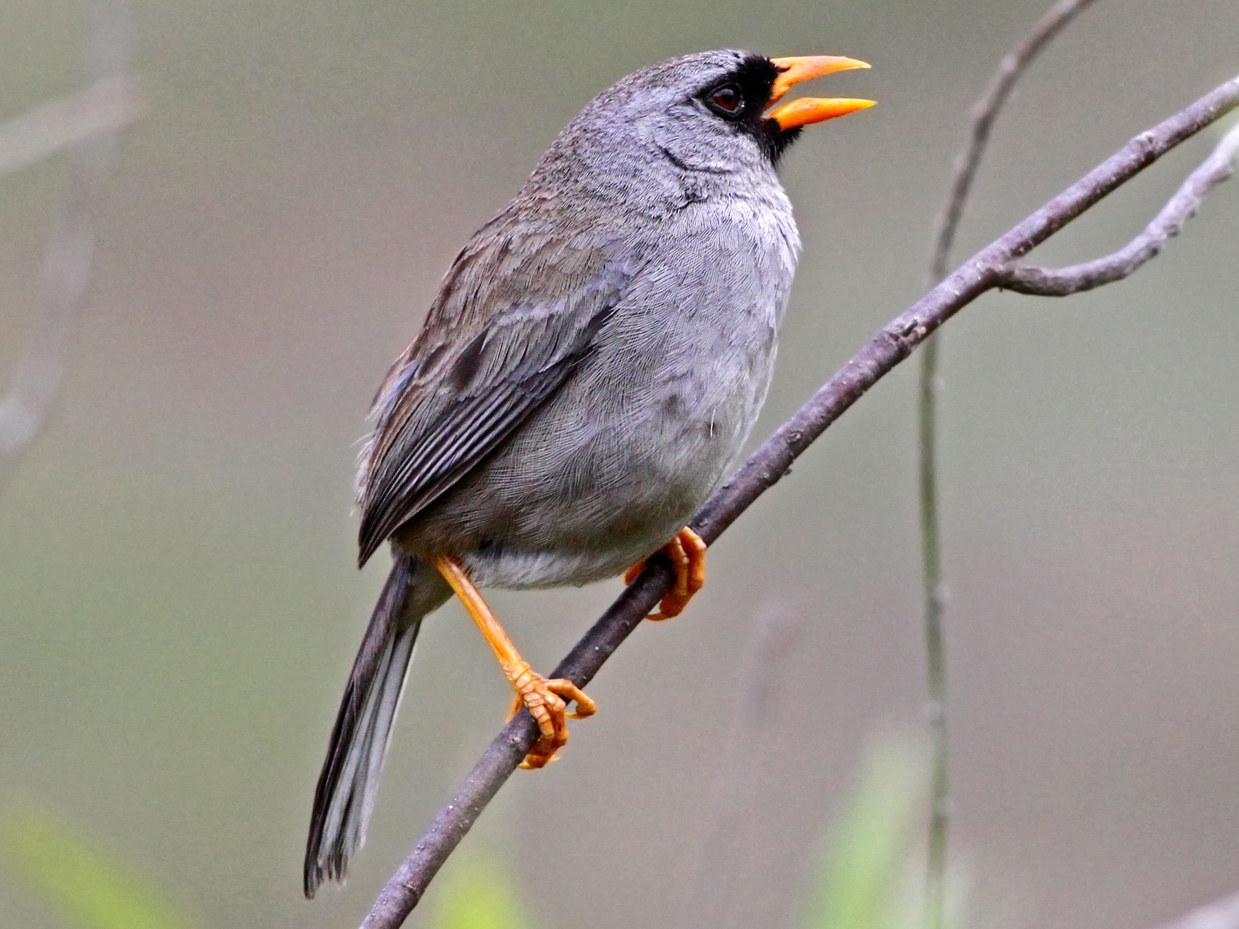 Gray-winged Inca-Finch - Andrew Spencer