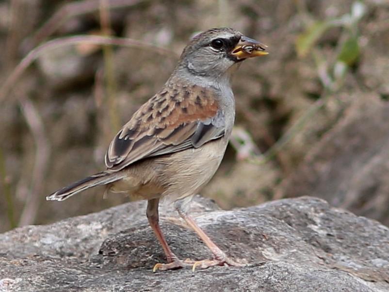 Little Inca-Finch - Rohan van Twest