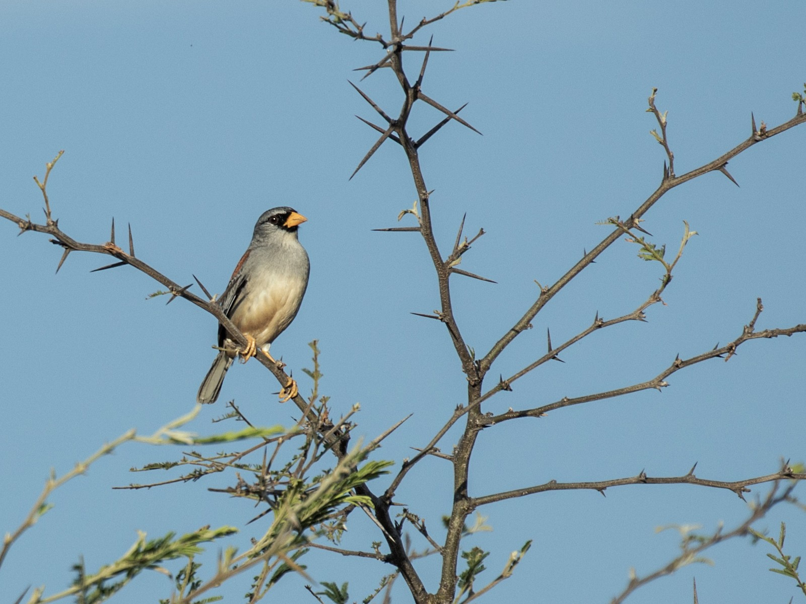 Little Inca-Finch - Nick Athanas