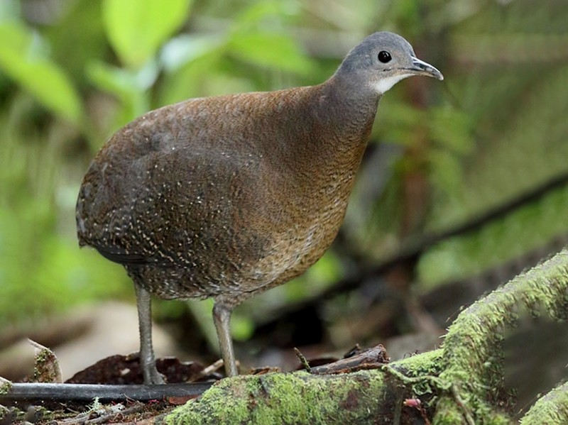 Hooded Tinamou - Carlos Calle Quispe