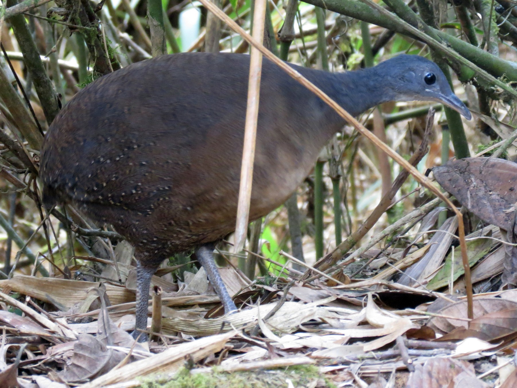 Hooded Tinamou - Jake Glassman