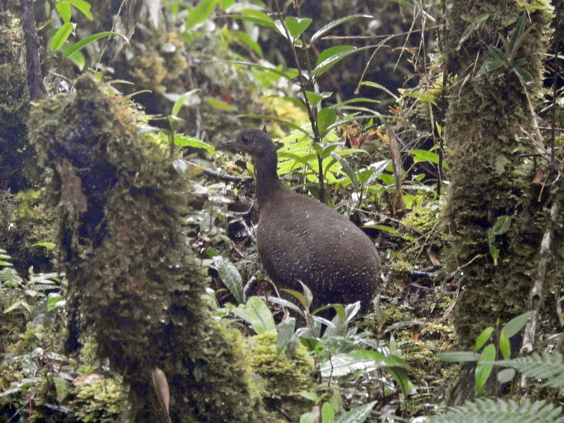 Hooded Tinamou - Euclides