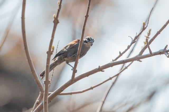 Vincent's Bunting