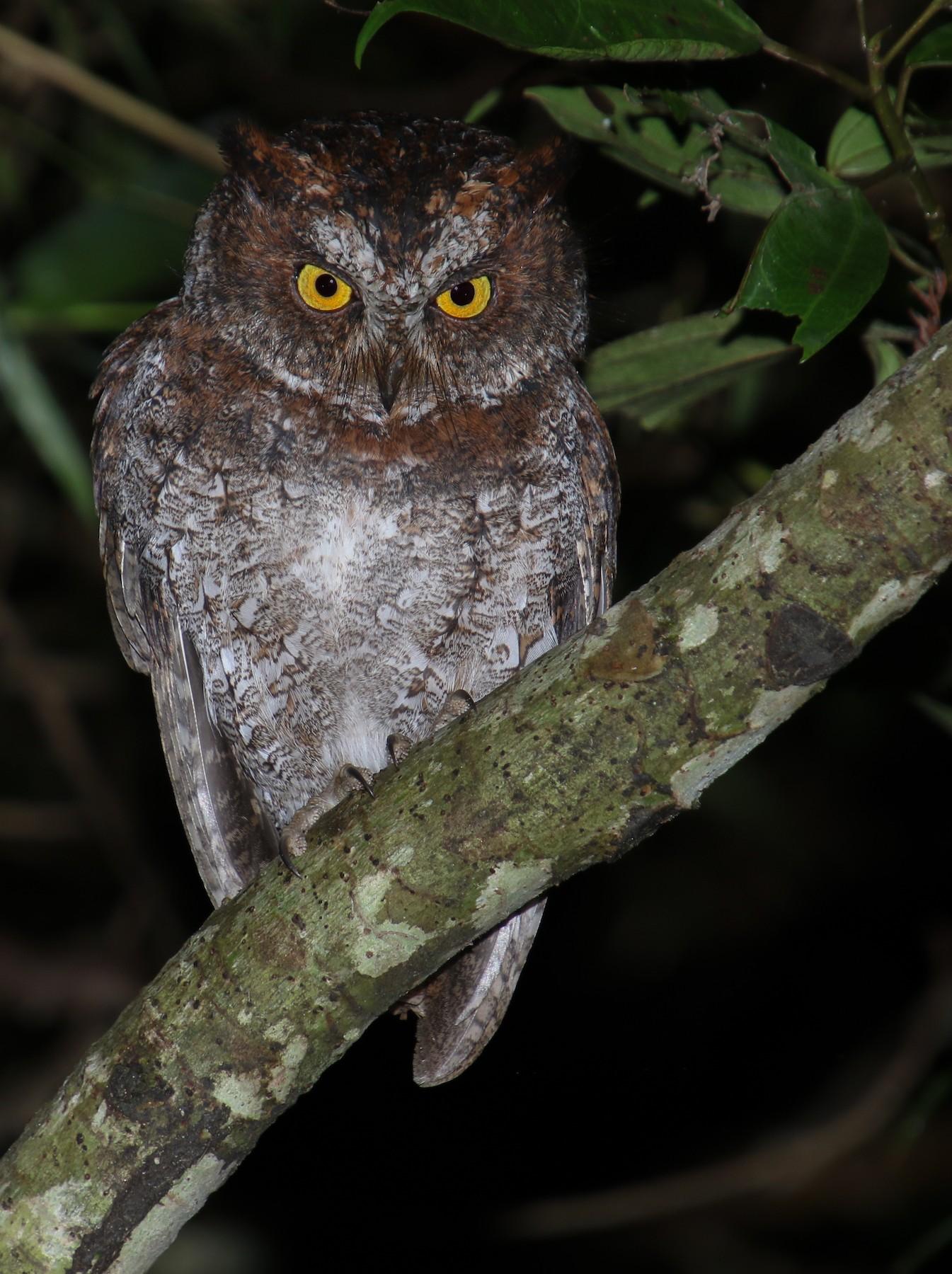 Luzon Scops-Owl - Alex Berryman