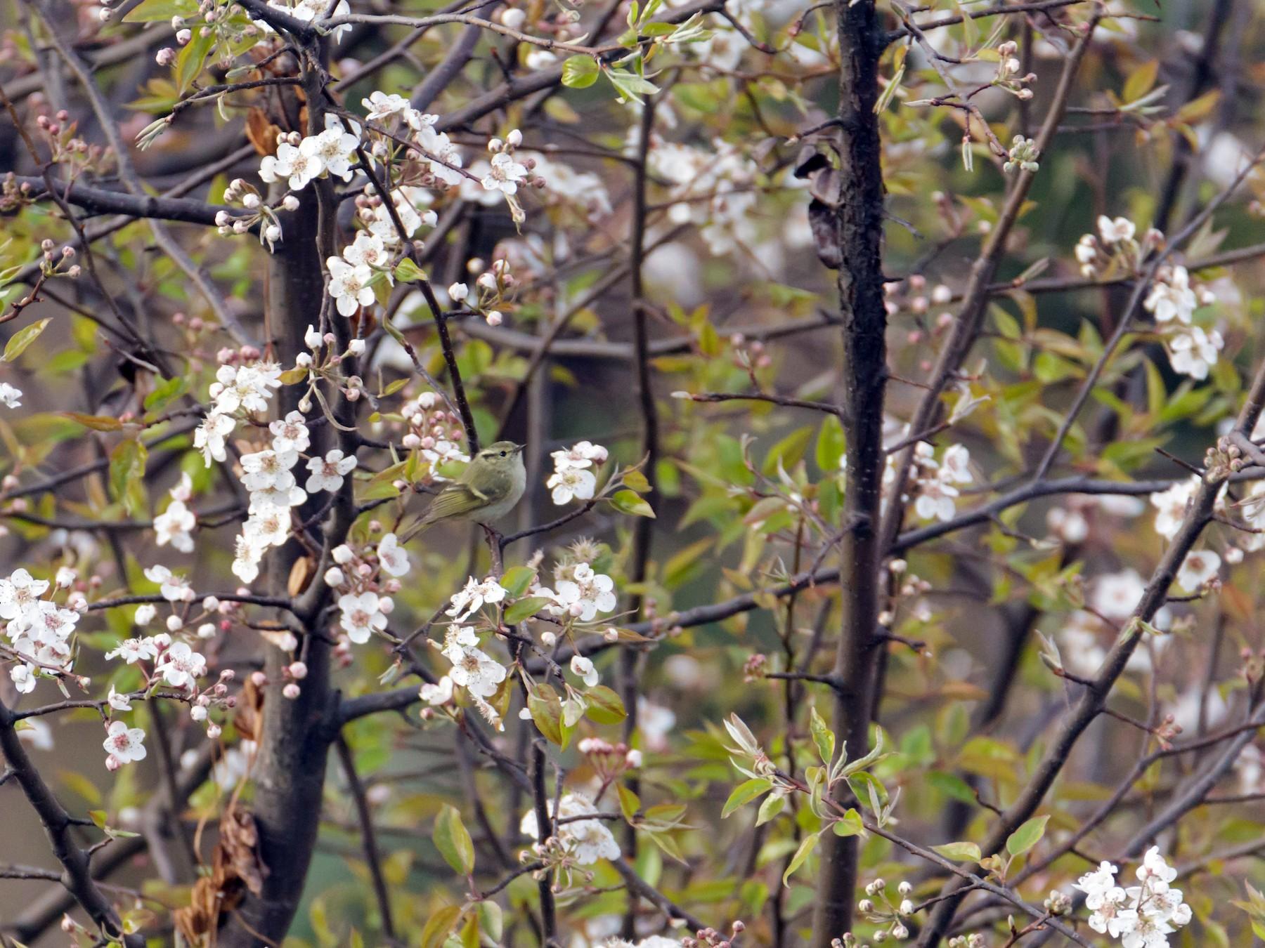 Lemon-rumped Warbler - Adithya Bhat