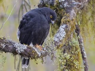 - White-rumped Hawk
