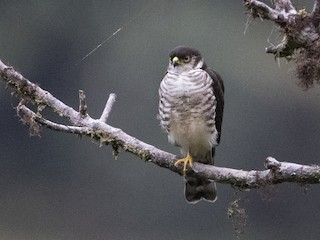 - Semicollared Hawk
