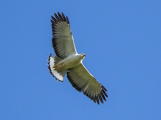 - White-necked Hawk