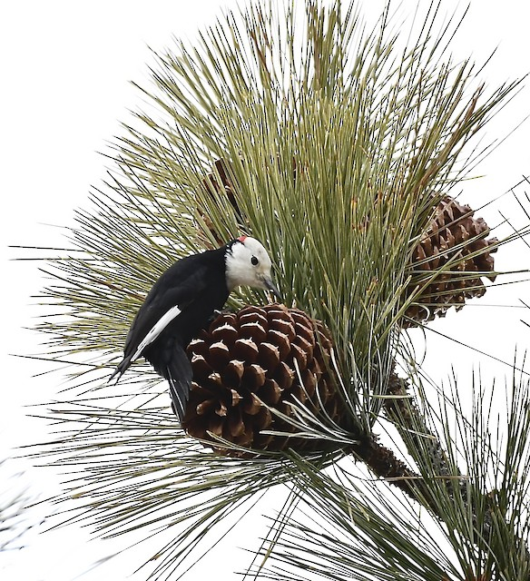 White-headed Woodpecker foraging on pine cones.