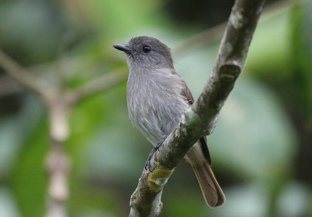 Flores Jungle-Flycatcher