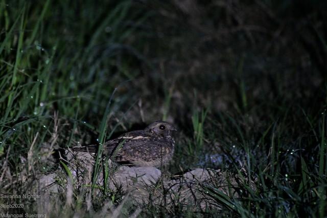 Savanna Nightjar