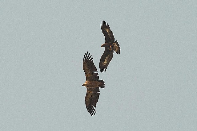 Immature Golden Eagle with Eurasian Griffon (<em>Gyps fulvus</em>).