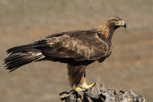 Adult Golden Eagle (Spain)