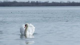Mute Swan, ML211005641