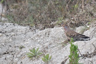 Oriental Turtle-Dove, ML211036781