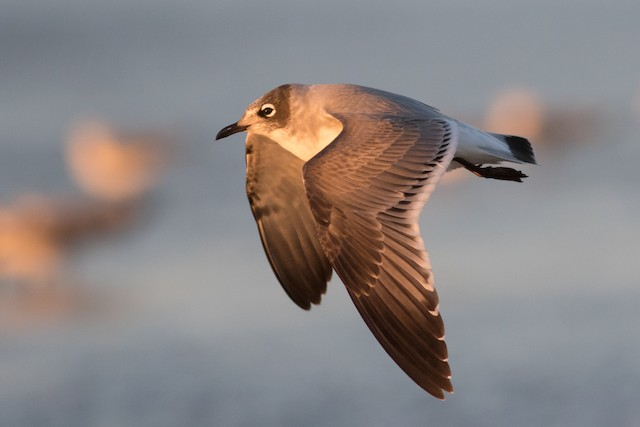 Franklin's Gull ML21106411