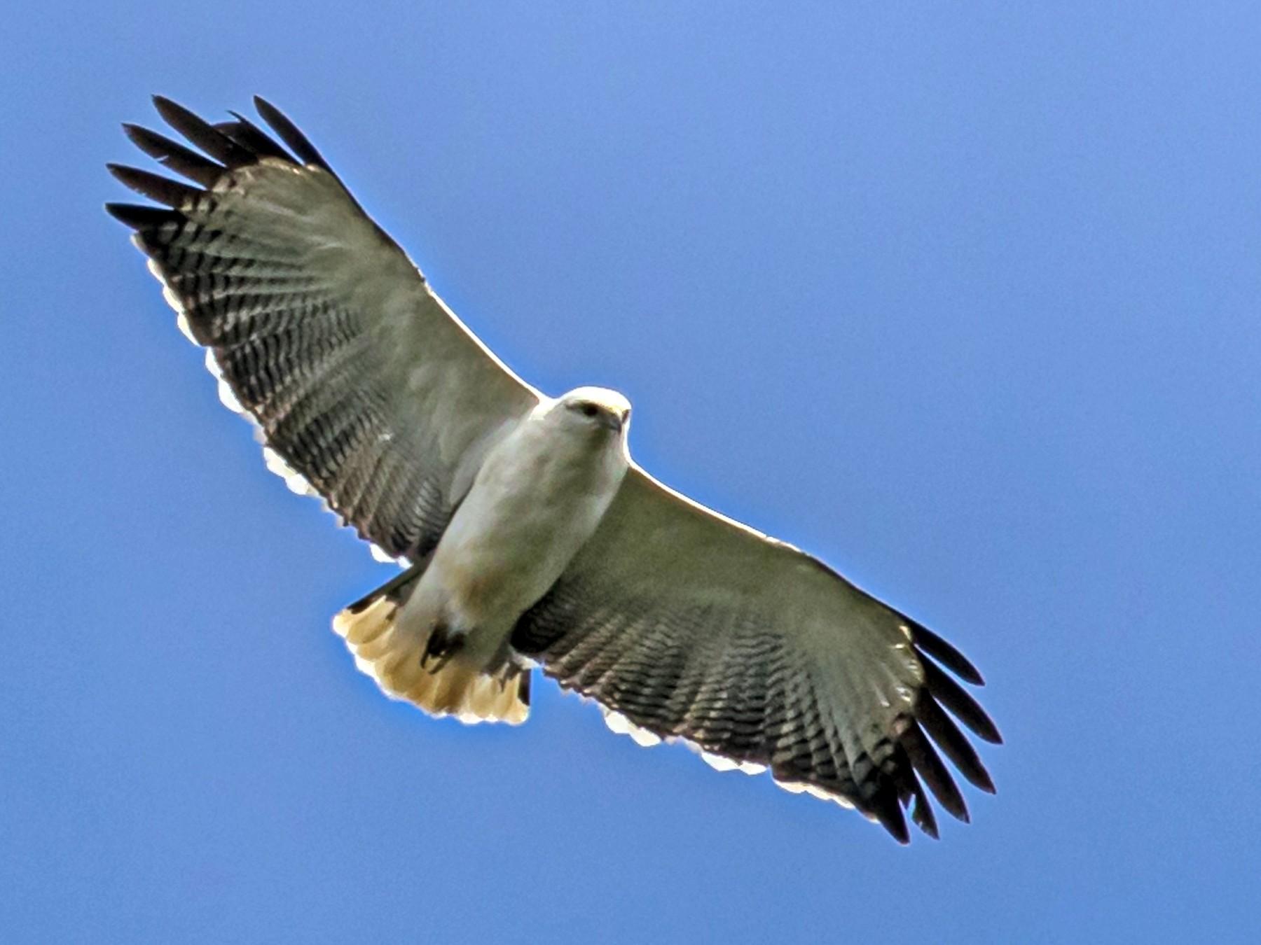 Mantled Hawk - Eden Fontes