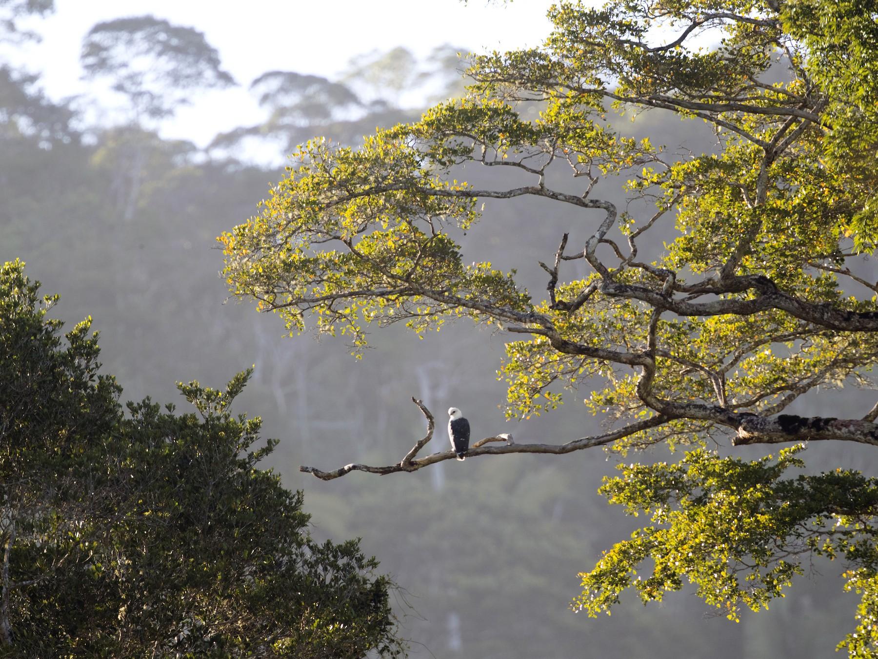 Mantled Hawk - Ciro Albano