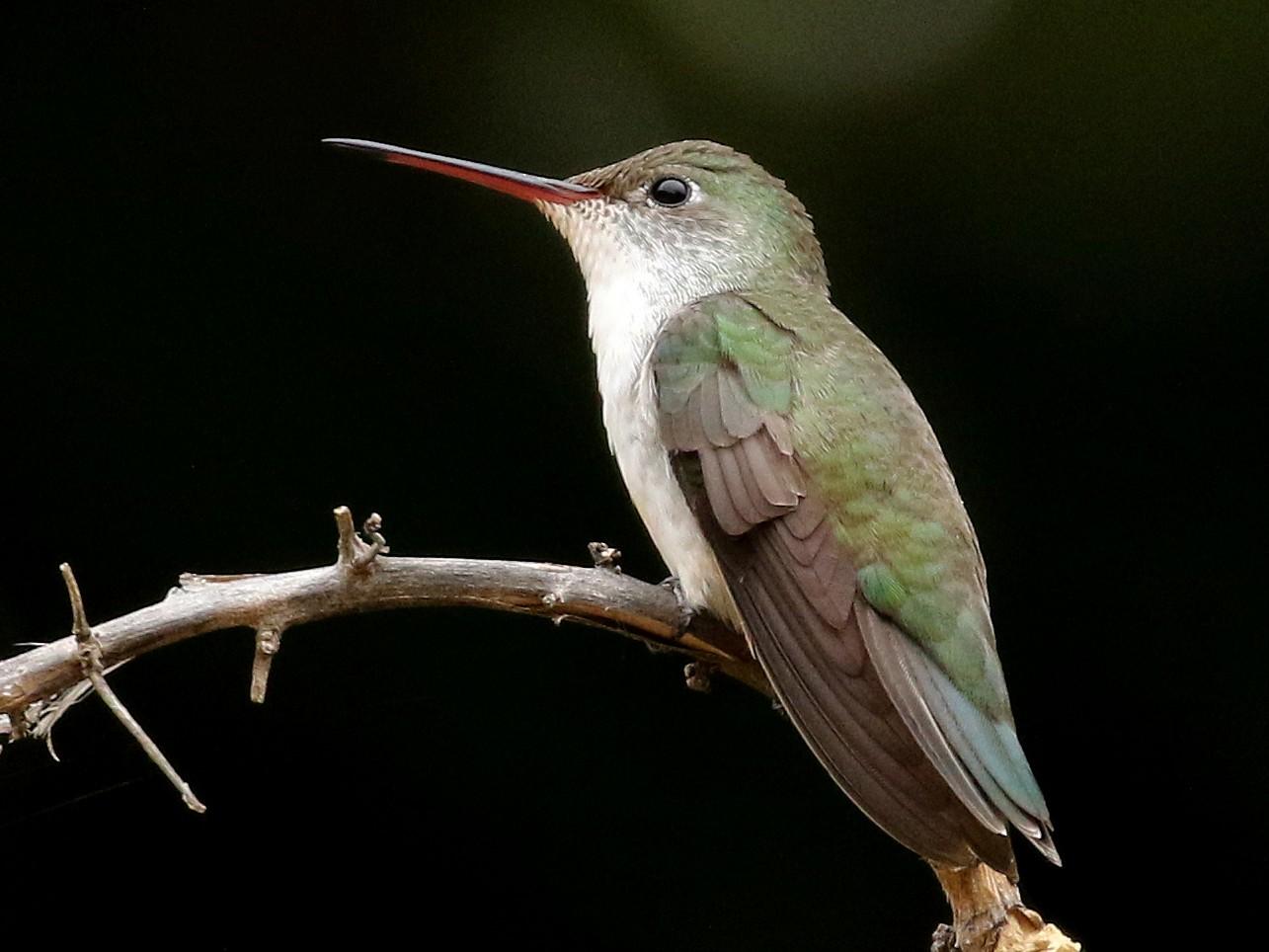 White-bellied Hummingbird - Jay McGowan