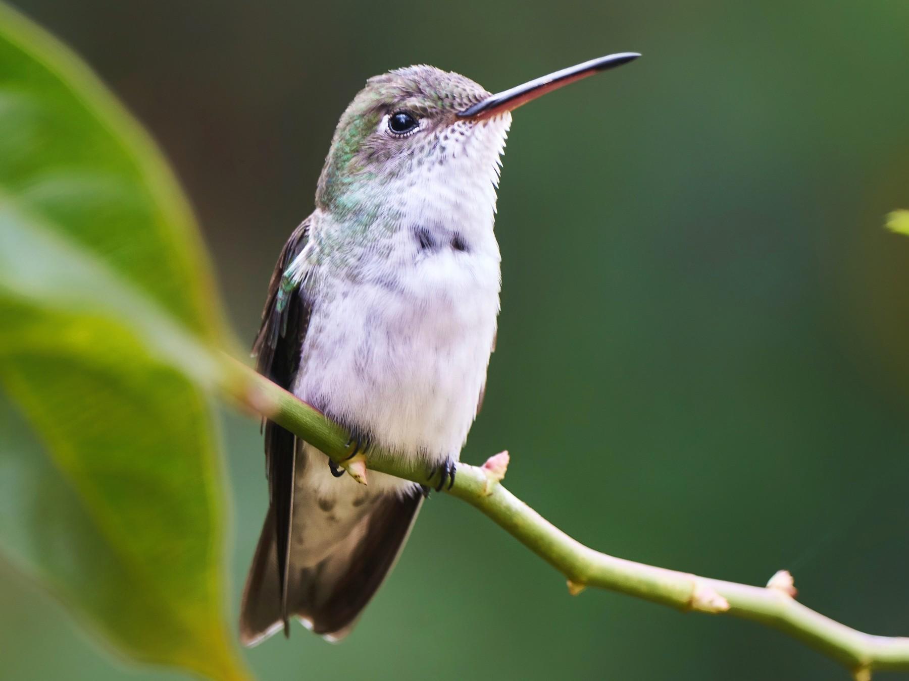 White-bellied Hummingbird - Jorge  Quiroga