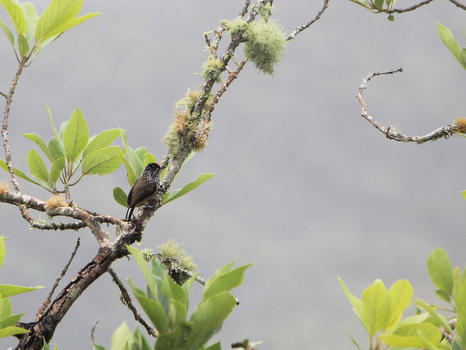 Ocellated Piculet - Meghan Edwards