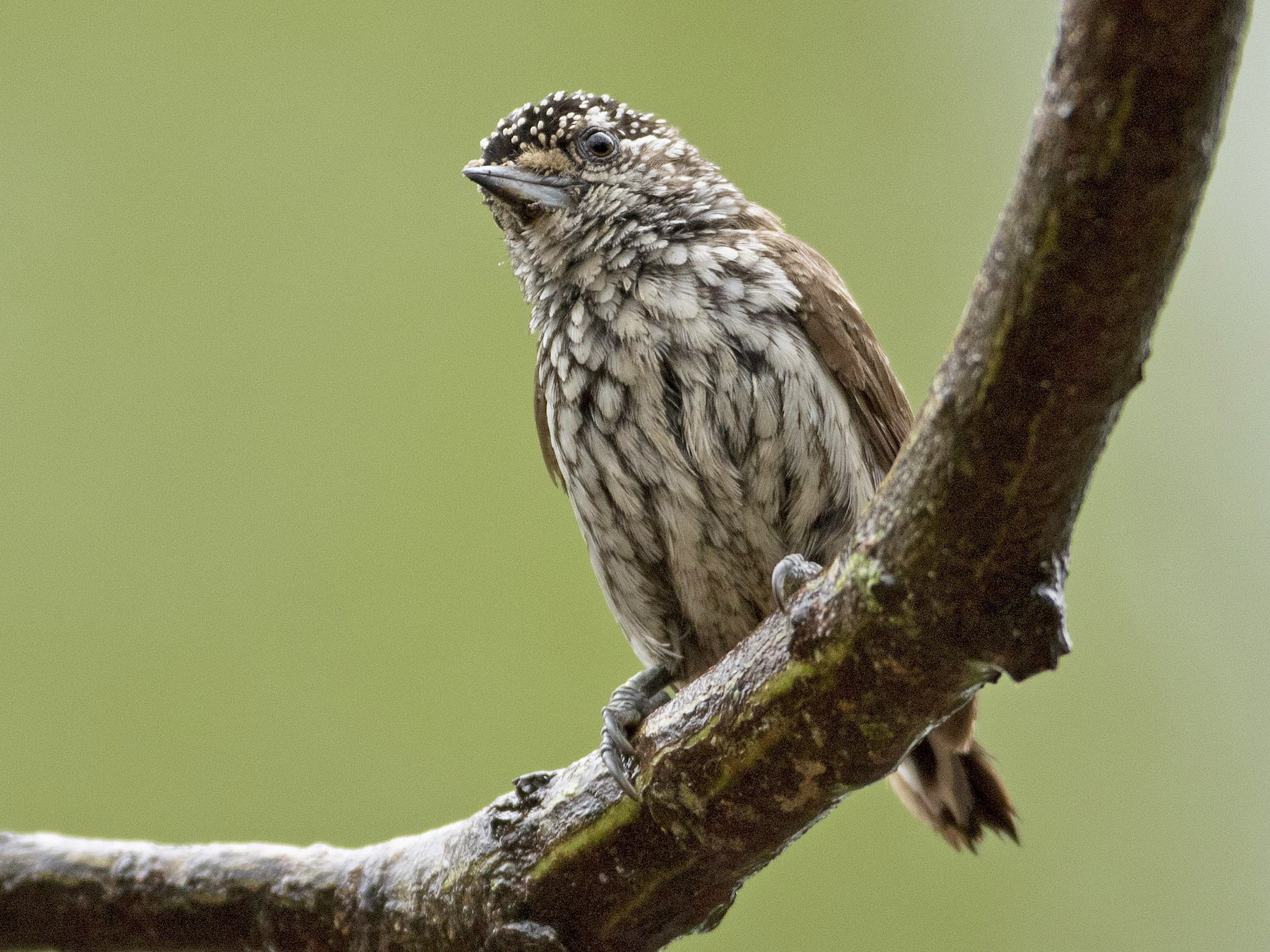 Ocellated Piculet - Mark Peck