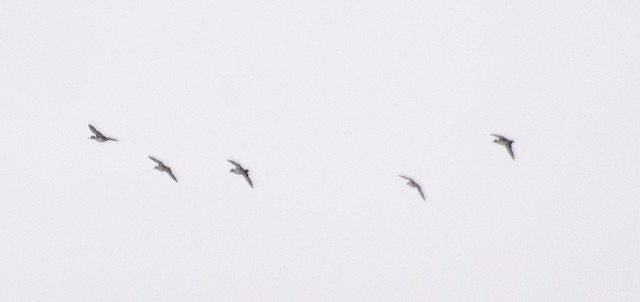 Green-winged Teal (Eurasian)