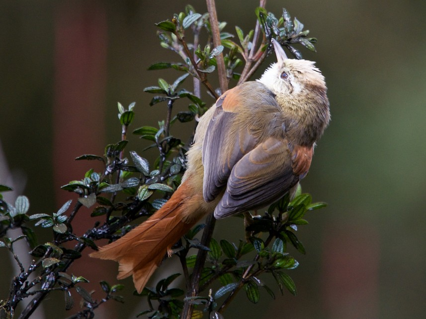 Creamy-crested Spinetail - Jamie Baker