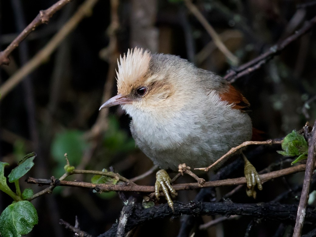 Creamy-crested Spinetail - Lars Petersson