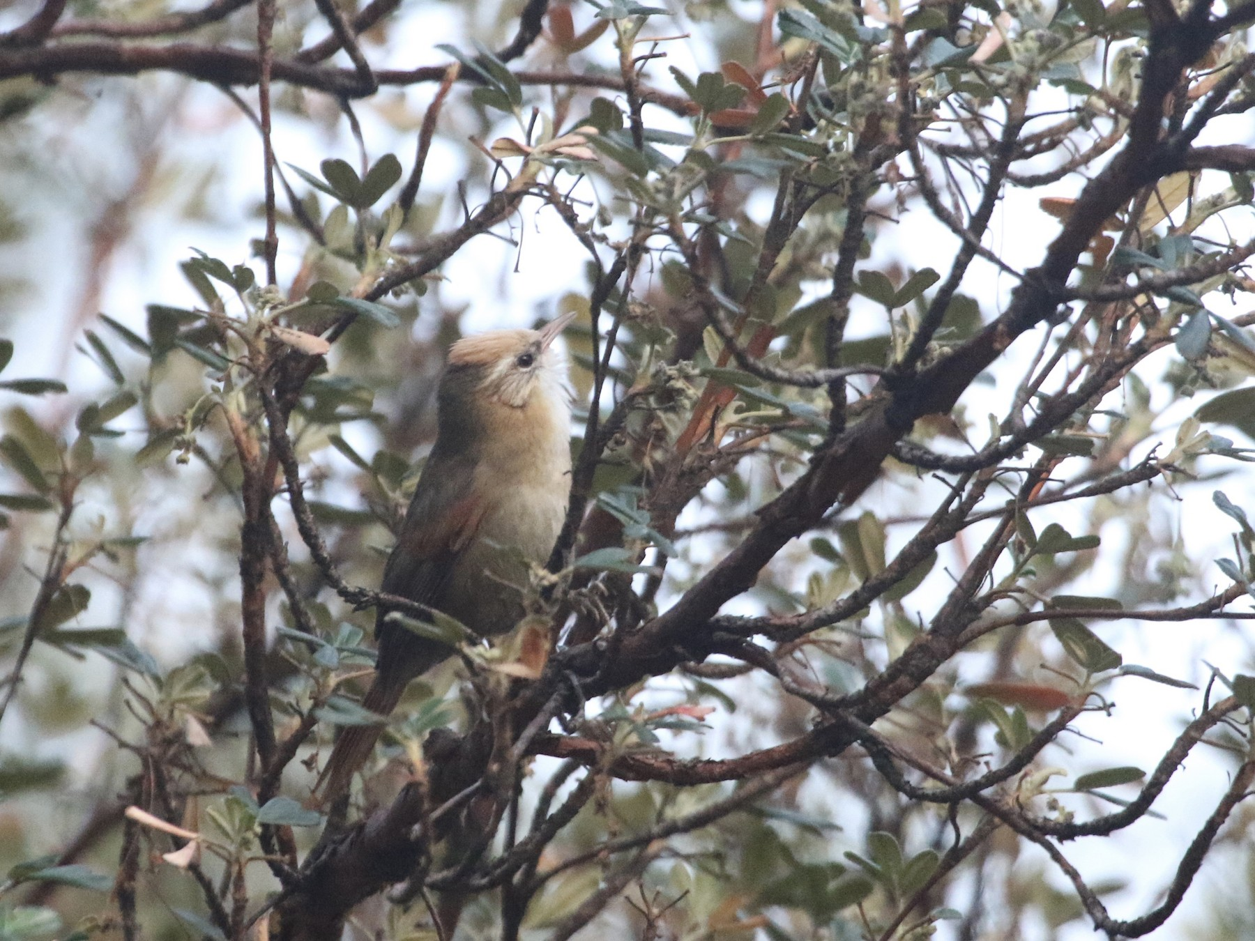 Creamy-crested Spinetail - Eric Heisey