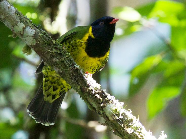 Band-tailed Fruiteater - Robert Tizard