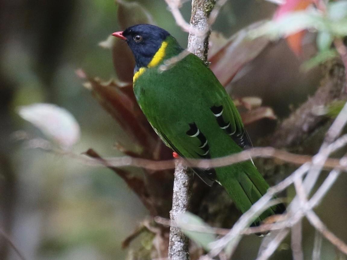 Band-tailed Fruiteater - Sandy Vorpahl