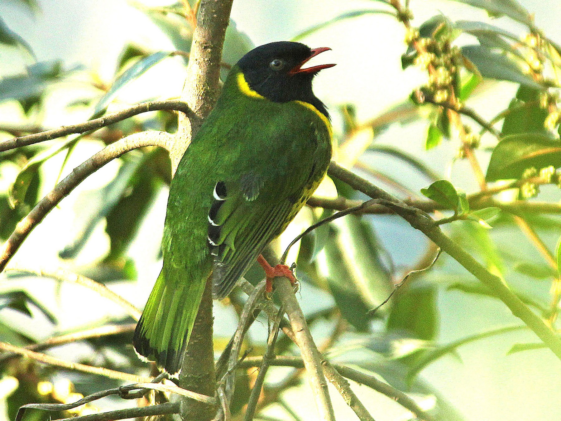 Band-tailed Fruiteater - Ken Murphy