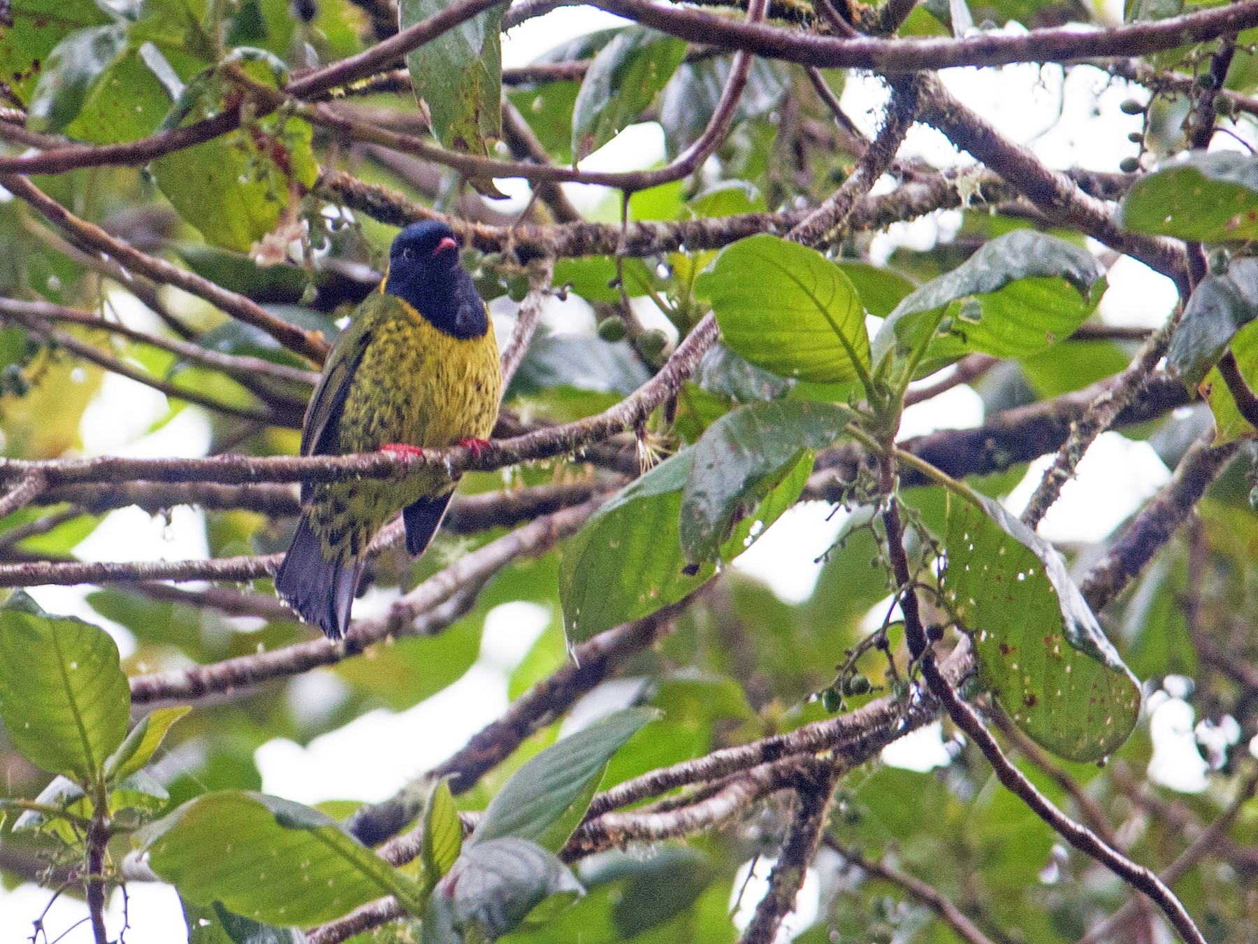 Band-tailed Fruiteater - Stephen Davies