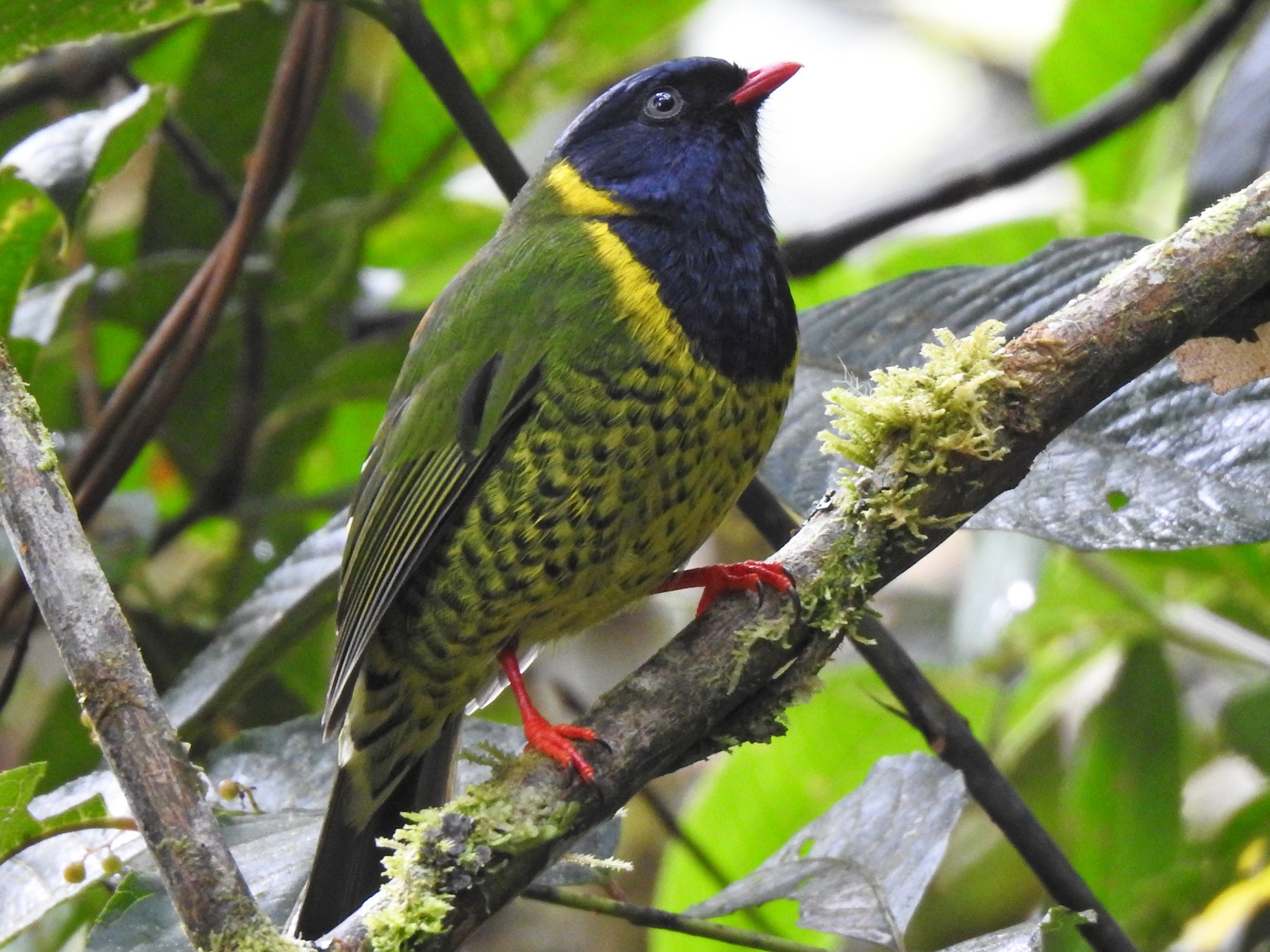 Band-tailed Fruiteater - Julio Giraldo