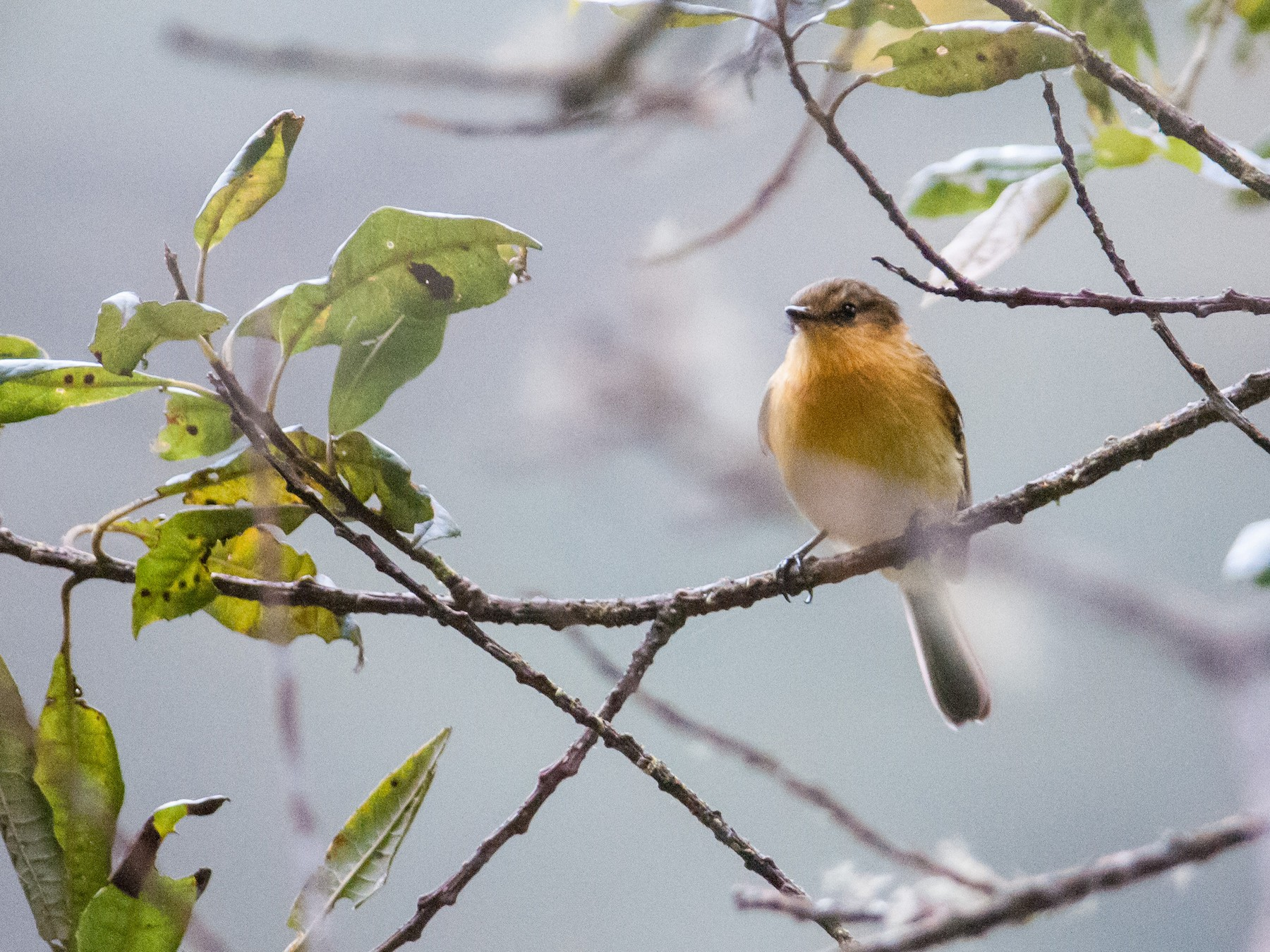 Ochraceous-breasted Flycatcher - Stephen Davies