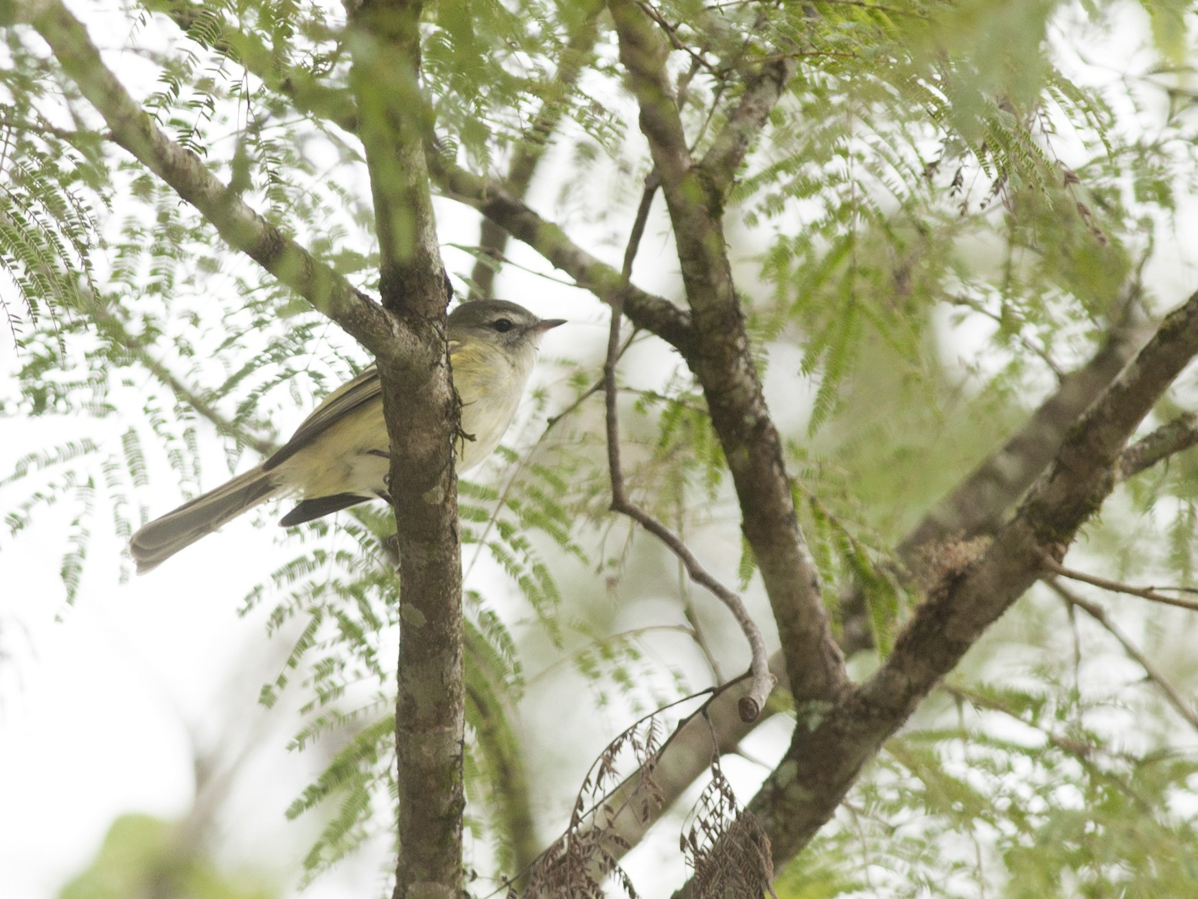 Sclater's Tyrannulet - Giselle Mangini