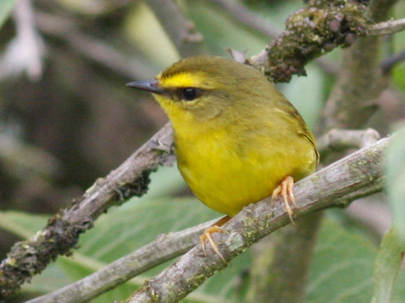 Pale-legged Warbler - Andre Moncrieff