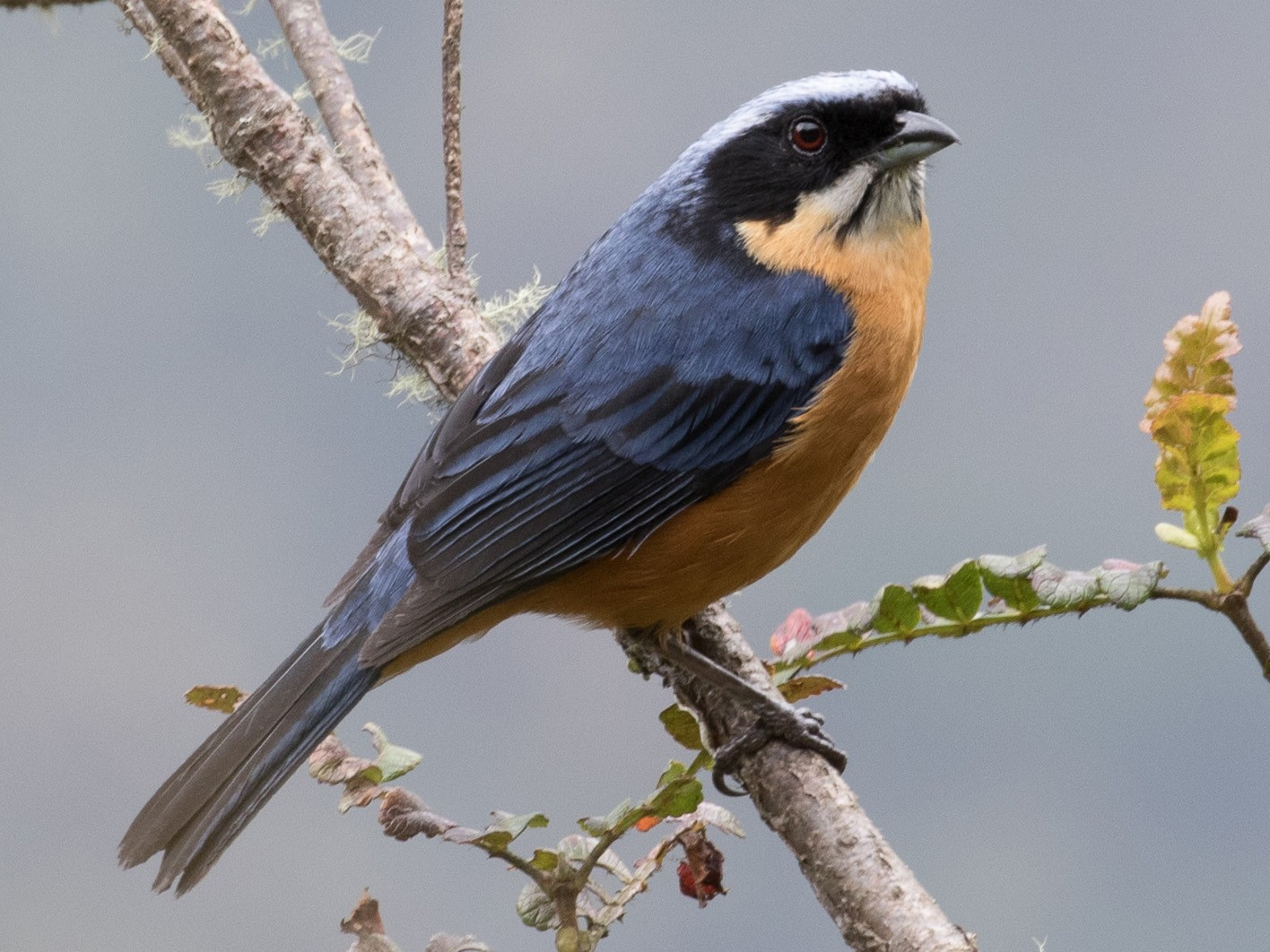 Chestnut-bellied Mountain-Tanager - Robert Lewis
