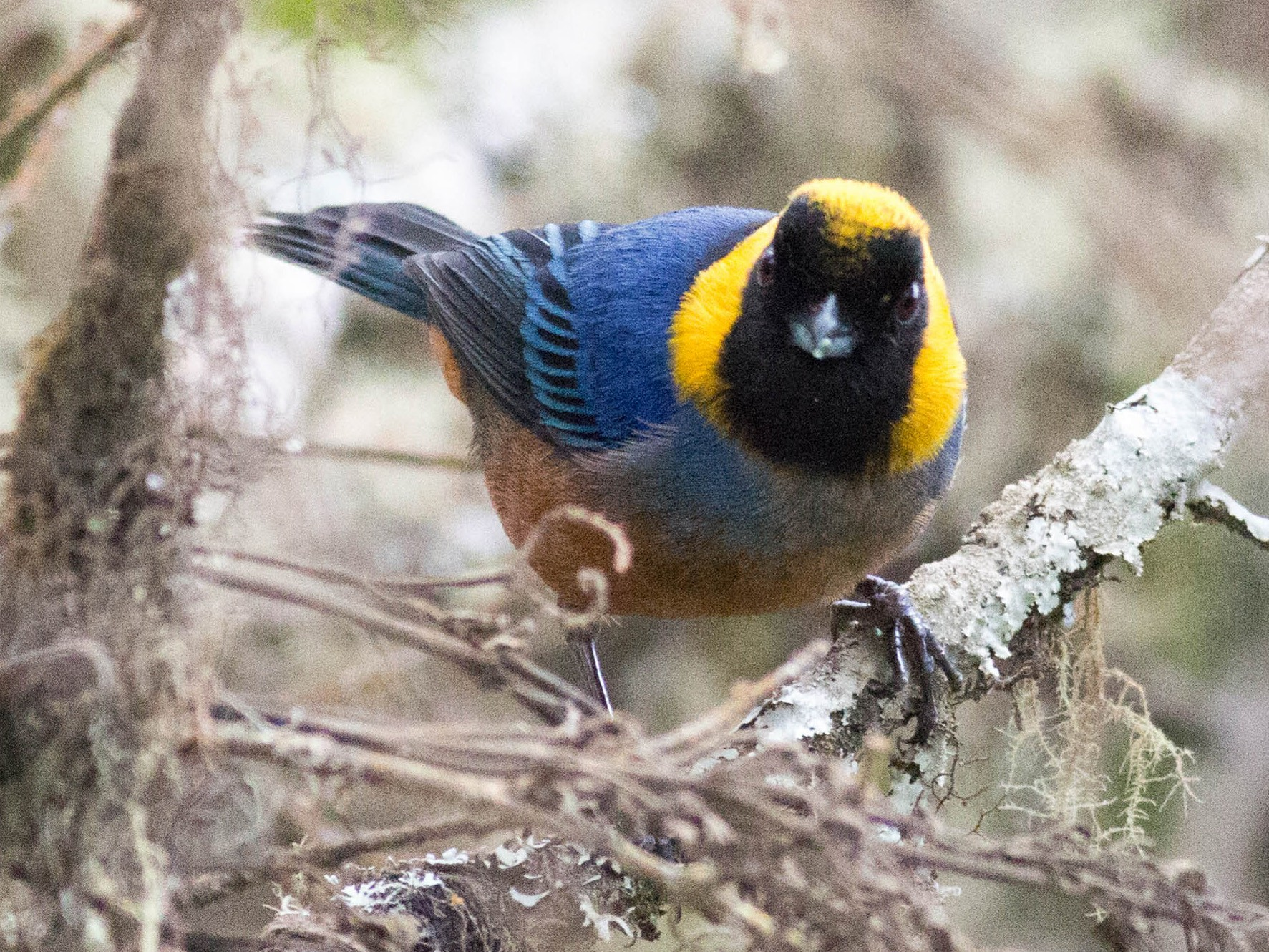 Golden-collared Tanager - Paul Fenwick