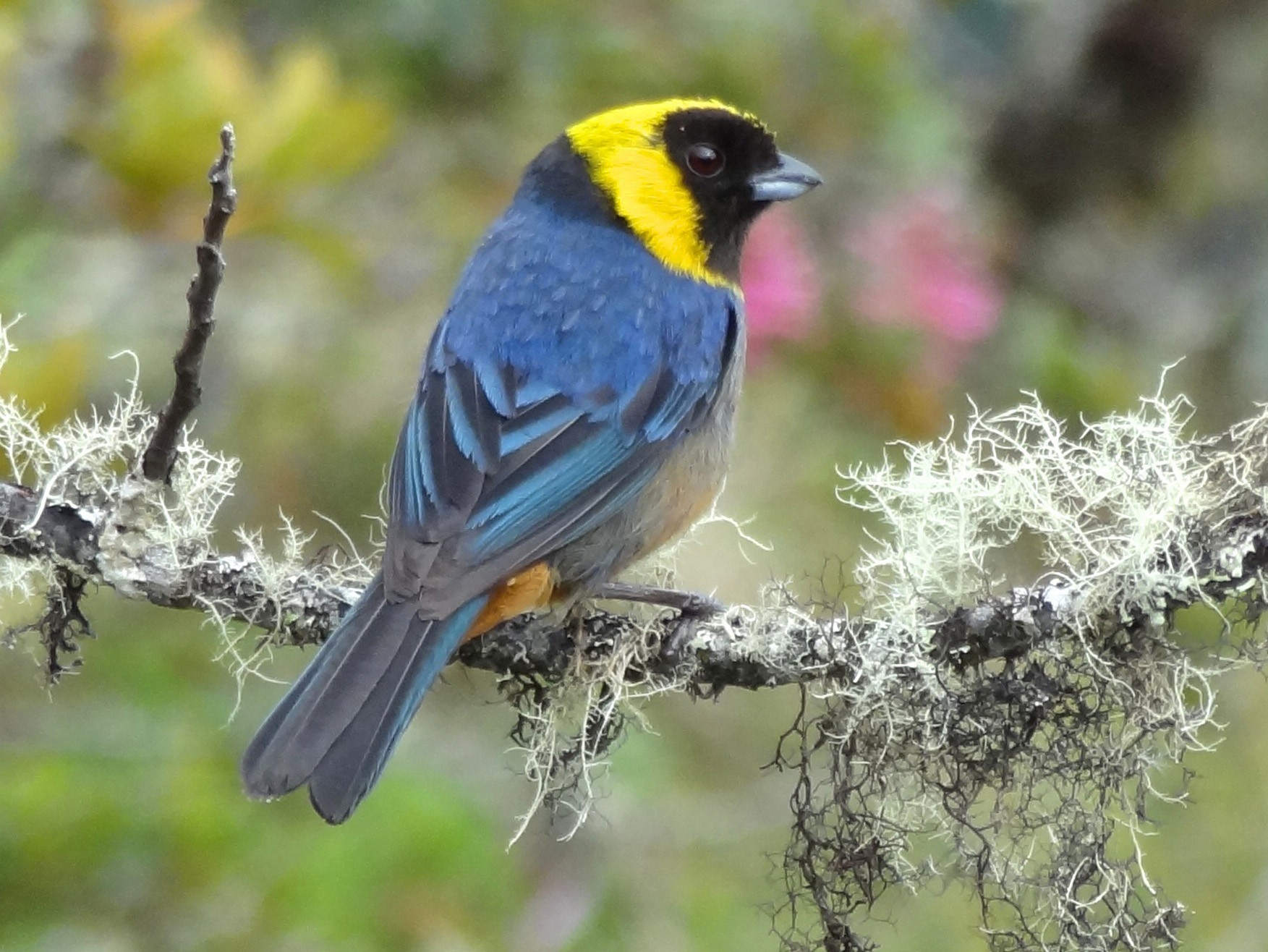 Golden-collared Tanager - Timothy Forrester
