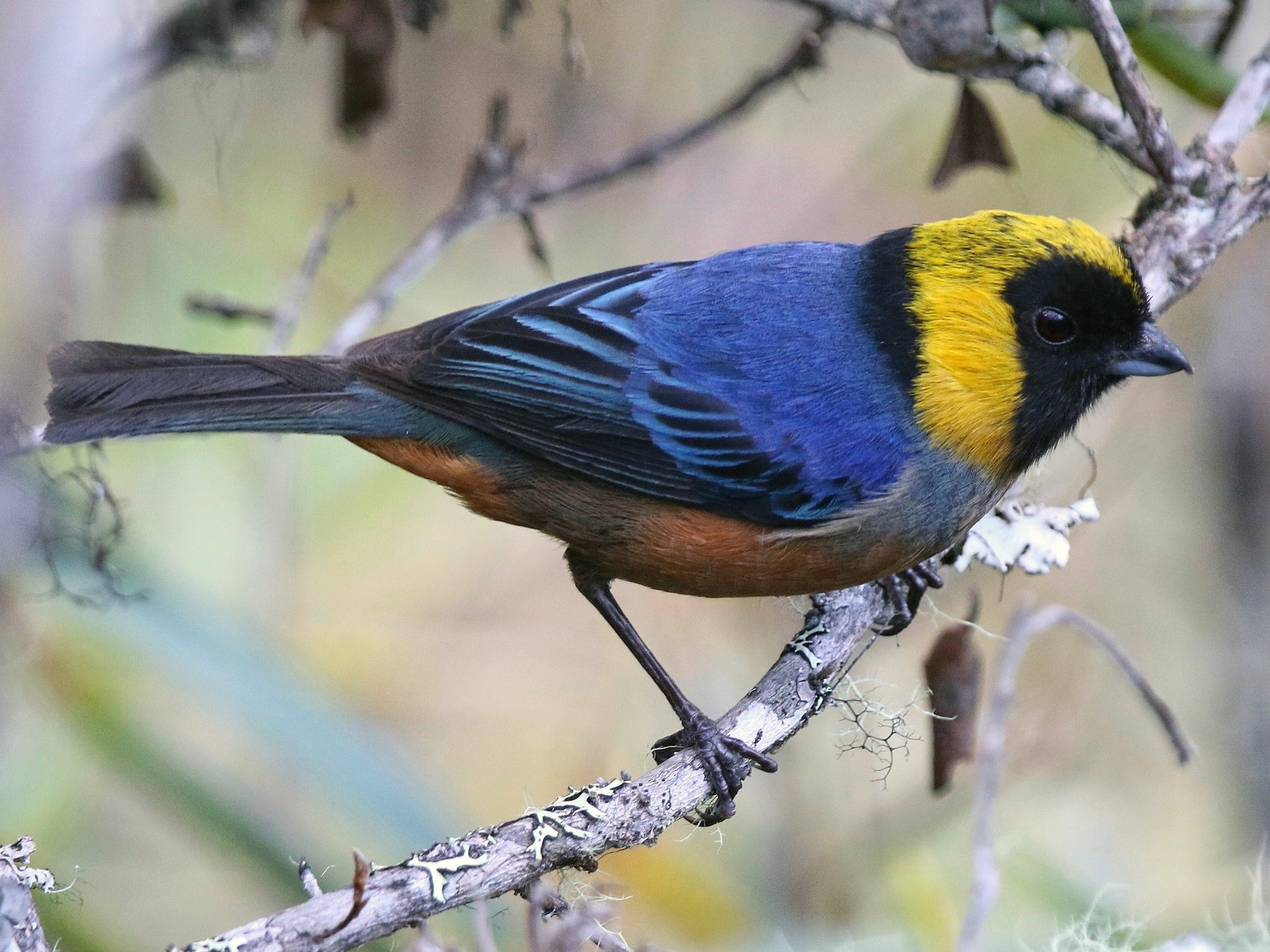 Golden-collared Tanager - Eric Heisey