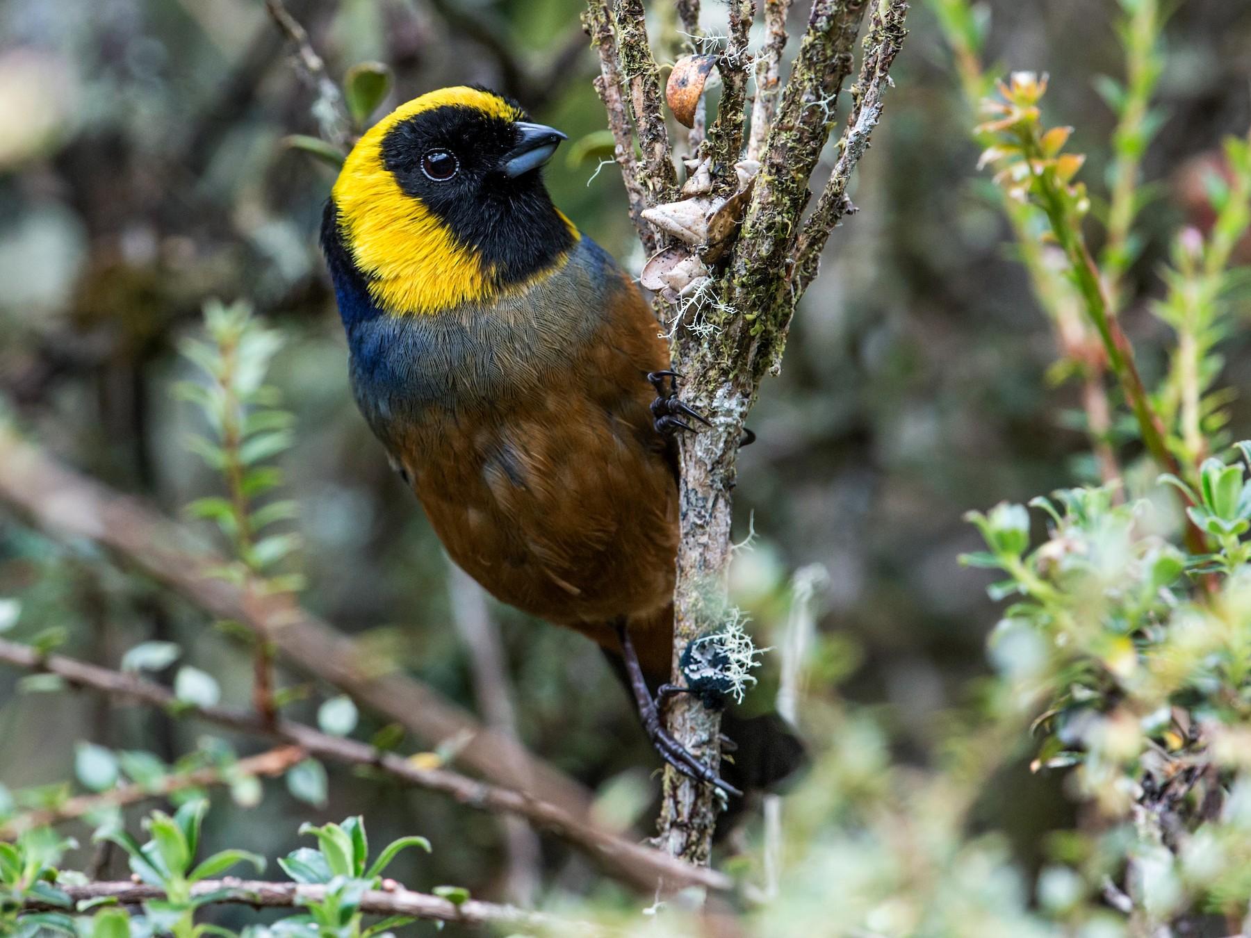 Golden-collared Tanager - Nick Athanas