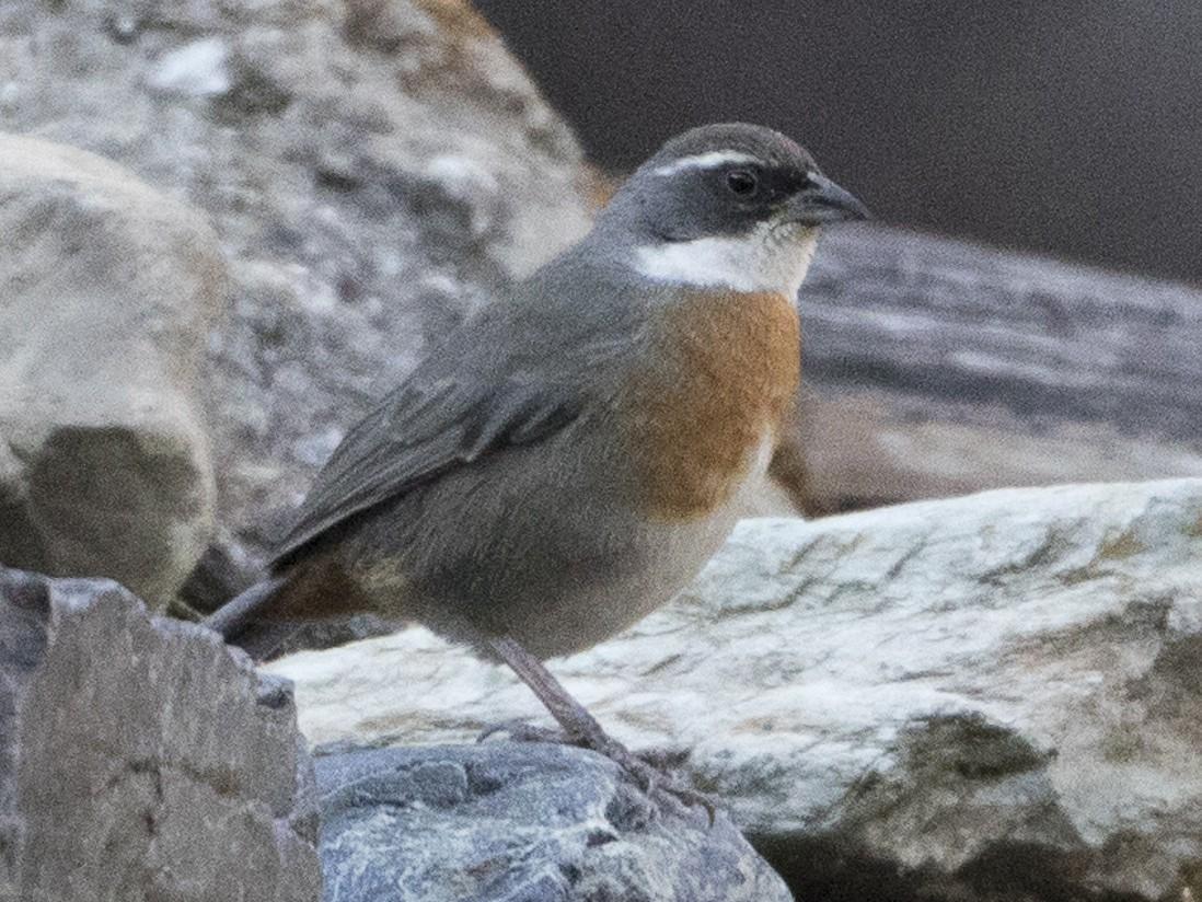 Chestnut-breasted Mountain-Finch - Brian Sullivan